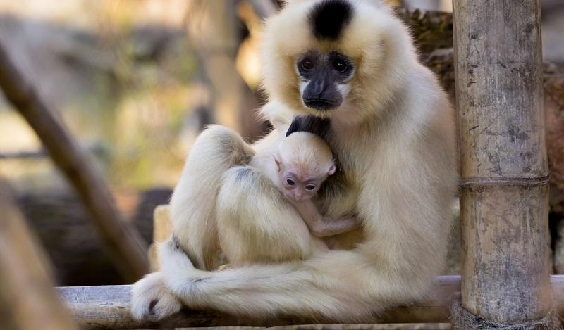 Tier- und Freizeitpark Thüle das bekommt man wirklich nicht alle Tage zu sehen: Ein Gibbon-Baby, das frech und unerschrocken durch das Gehege flitzt oder mit seiner Mama kuschelt.